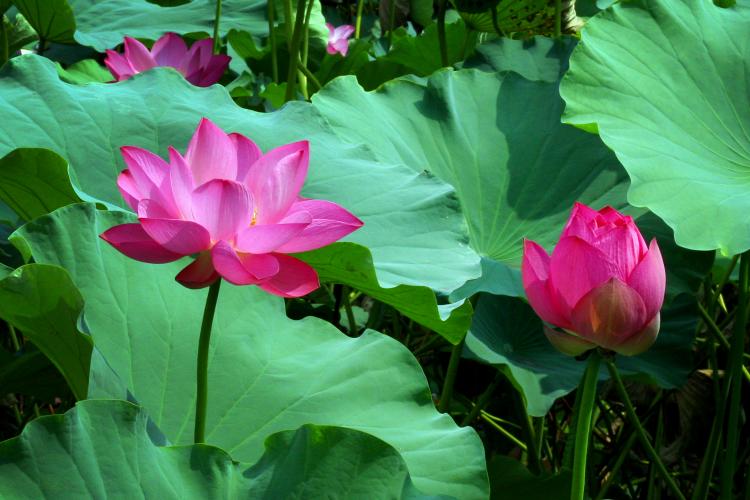 lotus-3