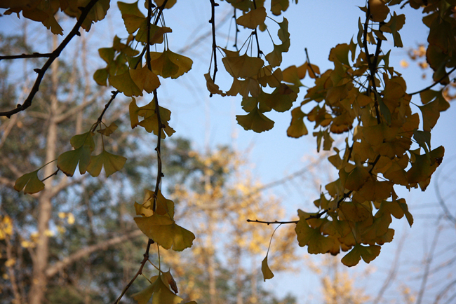sichuan-u-gingko-leaves
