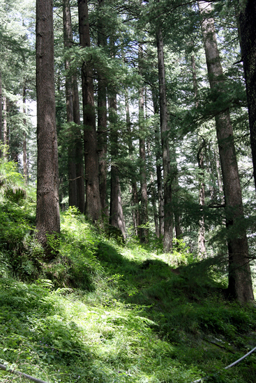 manali-forest