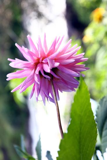manali-pink-flower