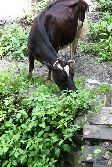vashisht-grazing-cow
