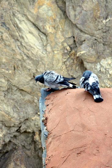gyantse-pigeons