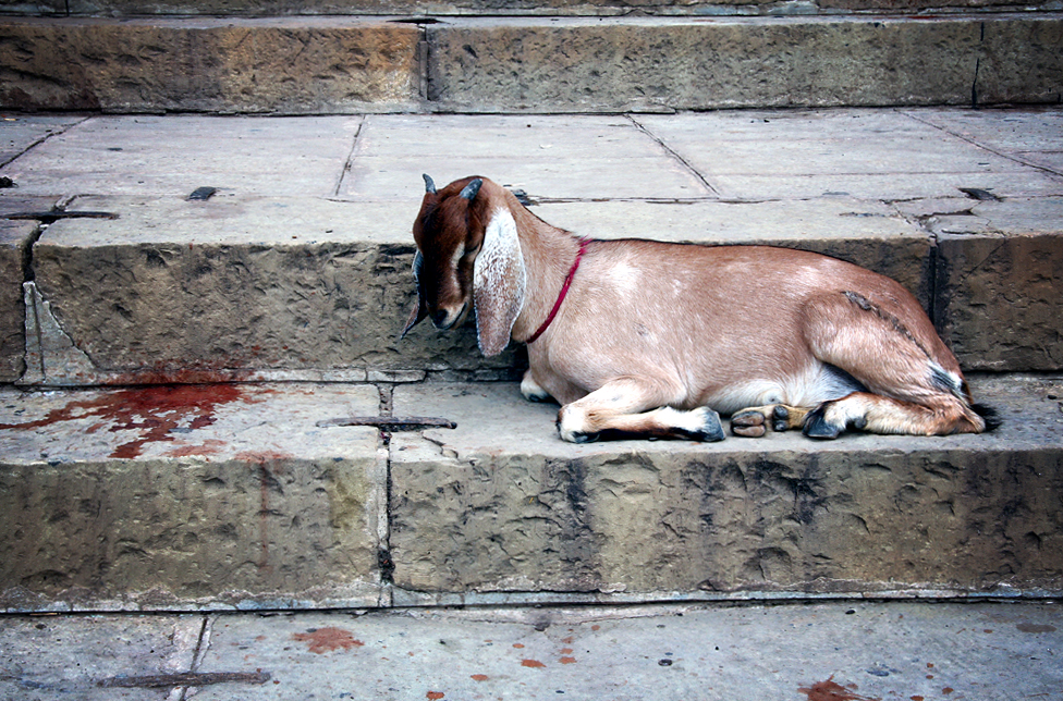 varanasi-ghat-steps-with-goat-2