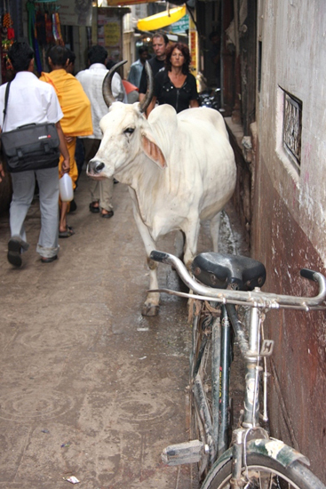 varanasi-old-town-bicycle-cow